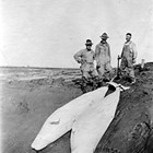 "Left to right: L. D. Ellexon, A. W. Anderson, and Johann ""Jack"" or ""Red"" Bartels with captured beluga whales at Theodore River, Cook Inlet, Alaska, 1919."