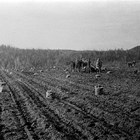 Digging potatoes at the Martin homestead, Matanuska Valley, 1918.