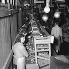 A view of the interior of the Emard Cannery showing women packing salmon into cans. The Emard cannery was the largest private employer in Anchorage and was vital to the Anchorage economy during the Depression.