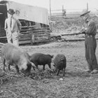 "John D. ""Bud"" Whitney looking at several of his pigs.  Although the couple were looking for solitude when they homesteaded along Ship Creek, the sudden development of Anchorage provided them a solid market for their hogs."